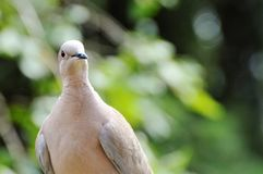 Dove, Collared, Bird, City Pigeon Royalty Free Stock Photography