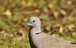 Dove, Collared, Bird, City Pigeon Royalty Free Stock Photo