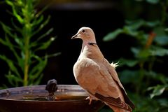 Dove, Collared, Bird, Plumage Royalty Free Stock Image