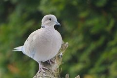 Dove Collared Eurasian Стоковое Фото