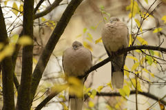 Dove Collared Eurasian Стоковые Фото