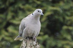 Dove Collared Eurasian Стоковое Изображение