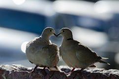 Dove Collared Eurasian Стоковая Фотография RF