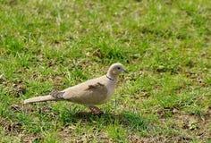 Dove Collared Eurasian Стоковое фото RF