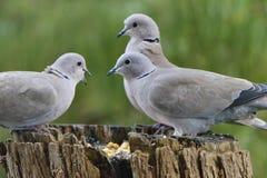 Dove Collared Eurasian Стоковые Изображения
