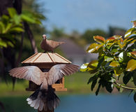 Dove Collared Eurasian стоковая фотография