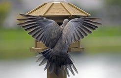 Dove Collared Eurasian стоковые изображения rf