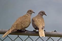 Dove Collared Eurasian стоковое изображение rf
