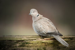 Dove Royalty Free Stock Photos