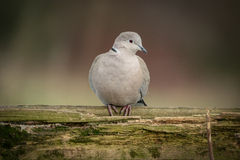 Dove Stock Photography