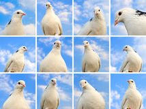 Dove collection Royalty Free Stock Photos