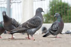 Dove-coloured pigeon Royalty Free Stock Photos