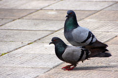 Dove-coloured pigeon,pigeons Royalty Free Stock Photos