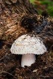 Dove-coloured Tricholoma Stock Image
