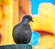 Dove with colourful background. Dove sitting on a post with a colourful background in the Bahamas Royalty Free Stock Images