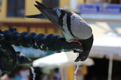Dove (Columba) quenches thirst in old town in Rhodes Royalty Free Stock Photo