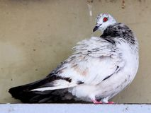 Dove (Columbidae) royalty free stock photos