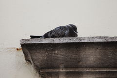 Pigeon on cornice. Dove. Old building Stock Photo