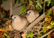 Dove Couple Royalty Free Stock Photo