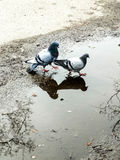 Dove and courtship. Dove and pigeon woman and their courtship stock photo