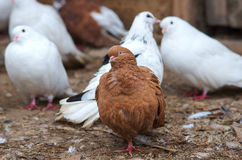 Dove a cream colored sitting on Royalty Free Stock Photo