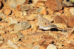 Dove Among Desert Rocks. A mourning dove walking among desert rocks in Arizona Royalty Free Stock Photo