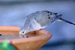 Dove Drinking. A morning dove drinking at a bird bath Royalty Free Stock Photo