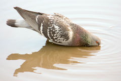 Dove drinking from a puddle. reflection in water Royalty Free Stock Images