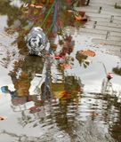 Dove drinking water from a puddle. With reflection and autumn leaves Royalty Free Stock Photography