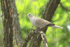 Dove on a dry branch Stock Photos