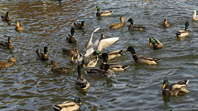 The dove among ducks. Dinner time on Titan Lake stock photography