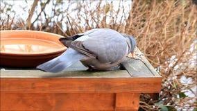 Dove eating bird seed, Columba palumbus. Wood pigeon eating bird seed, Columba palumbus stock video