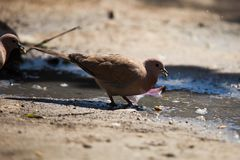 Pair of Doves. Dove eating bird wings winng beak pigeon peace love feather animal ild wildlife pair pdove padove pairdove doves symbol symbolic stock photography
