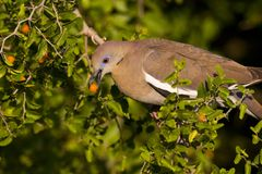 Dove eating fruit II Royalty Free Stock Photos