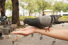 Dove eating in hand. Cove in park Stock Photo