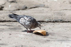 Dove eating a piece of bread Royalty Free Stock Image