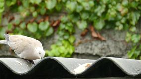 Dove eating in the rain stock footage