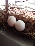 Dove egg in the nest Royalty Free Stock Image
