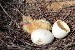 Dove and eggs Royalty Free Stock Photography