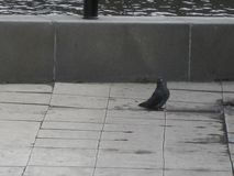 A dove at the embankment stock photography