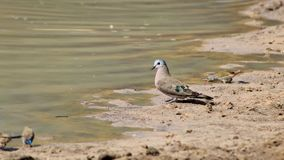 Dove, Emrald-spotted - African Gamebird Stock Image