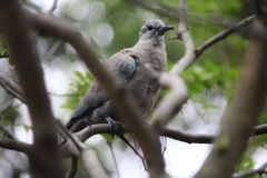 Dove & x28;Eurasian collared dove& x29; stock images