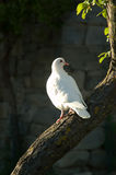 Dove In Evening Sunlight. Dove on tree in evening sunlight royalty free stock photo