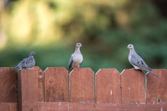 Dove Family Royalty Free Stock Images