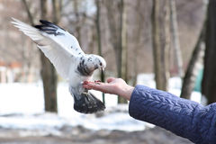Dove feeding in hand Stock Image
