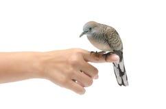 Dove on female hand white background Royalty Free Stock Photo