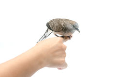 Dove on female hand white background Stock Image