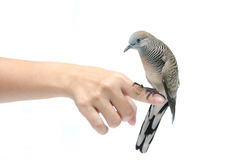 Dove on female hand white background Stock Photography