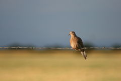 Dove On Fence Royalty Free Stock Photo