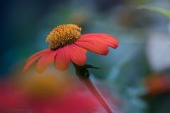 Dove fioritura del fiore Immagine Stock Libera da Diritti